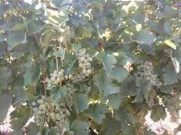 Vând struguri de Recas pentru vin, negri si albi