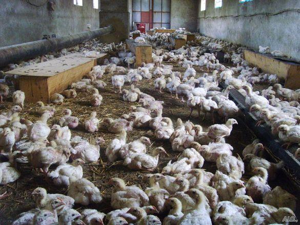 Eдномесечни бройлери и шарени пилета от село Енево.
