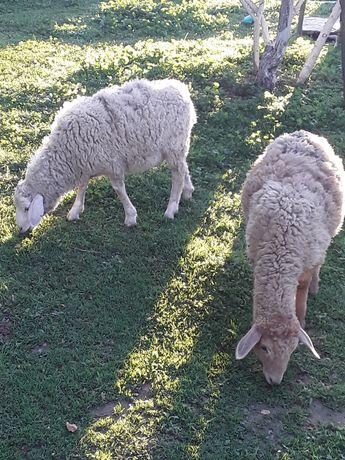 4 кепе козы семыз