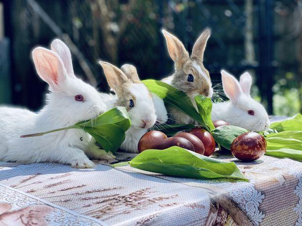 Vand iepuri hycole francez!
