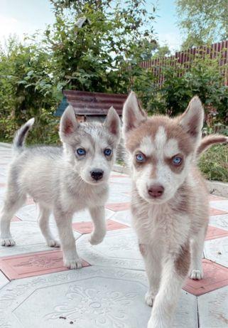 Срочно Чистокровные щенки сибирской хаски!!!