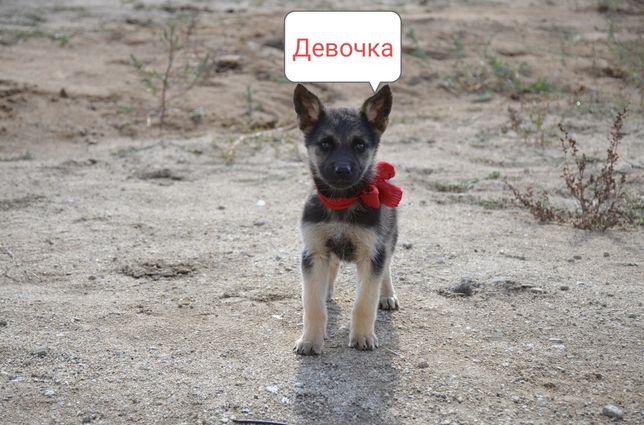 Продаются щенки восточно-европейской овчарки.