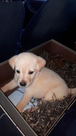 Продается щенок лабрадора все вопросы по телефону