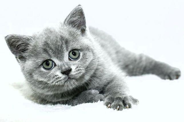 Британские котята голубого окраса, обмен