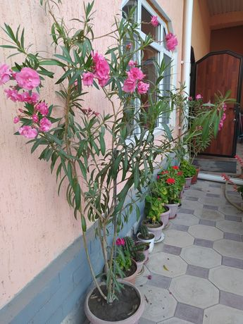 Цветы комнатные цветущие