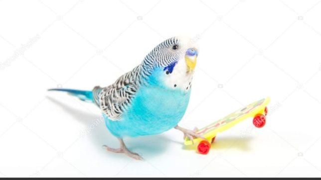 Продаются волнистые попугайчики