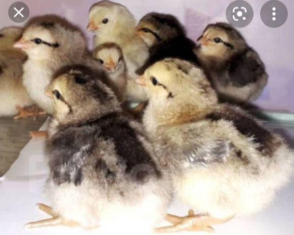 Домашнее породистые цыплята