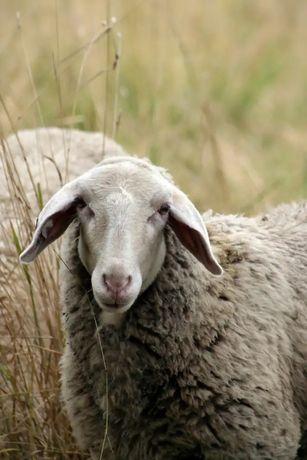 Продам жирных  овец