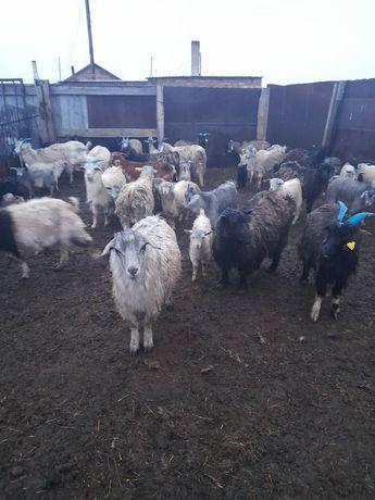 Продам коз козлят и козла