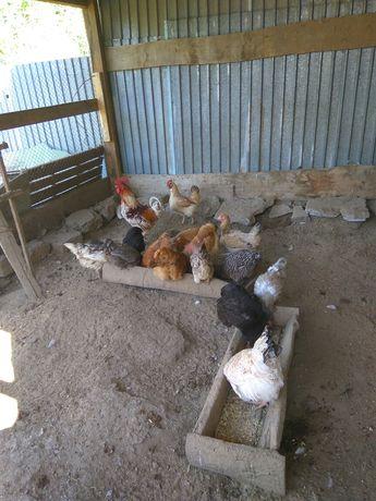 Продам кур,  14 куриц и 1 петух