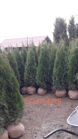 Va oferim o gama foarte mare de plante ornamentale pt det sunați