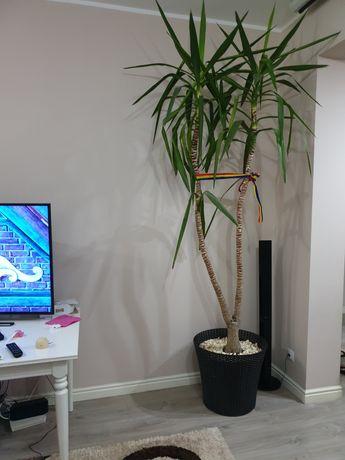 Planta exotica decorativa YUCCA (YUKA)