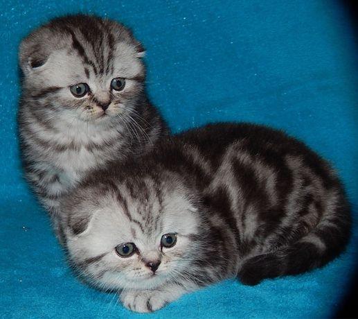 Мраморные котята золото и серебро