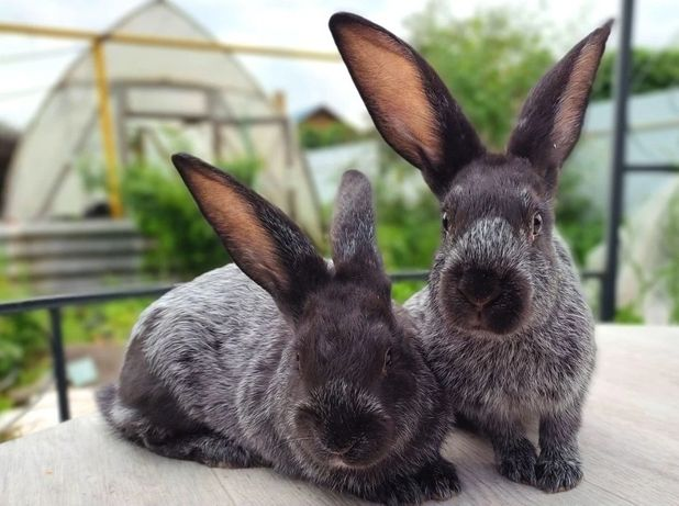 Кролики полтавское серебро