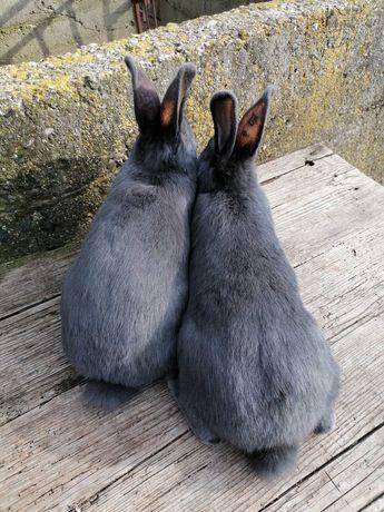 Vând iepuri albastru vienez