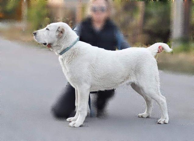Продам щенка САО, алабая