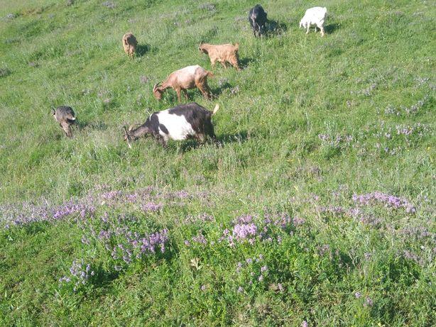 Vând 3 capre si 4 iezi