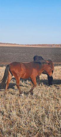 Продам откормленых  лошадей.