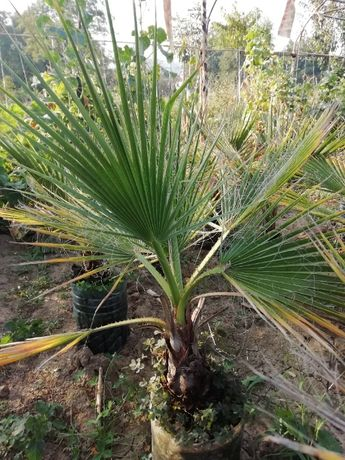 Красиви палми за дома и градината