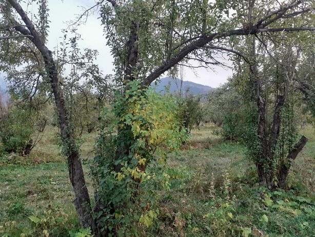 дрова яблоня вишня чурками и веткой