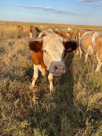 Vaci bălțată românească de vanzare