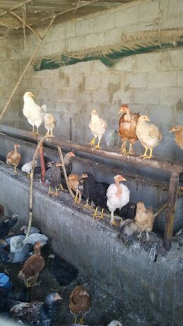 Балапандар Цыплята от 500 до 1400тг