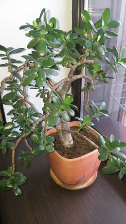 Растения- молочай и денежное дерево в хороших горшках