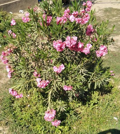 Цветы  Олеандра розового света