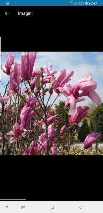Vindem magnolie bety de mai multe dimensiuni Bucuresti - imagine 1