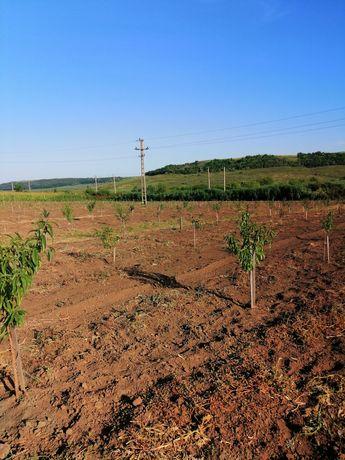 teren/livada pomi fructiferi