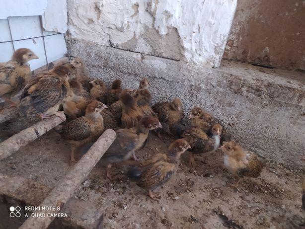 Балапан, цыплята