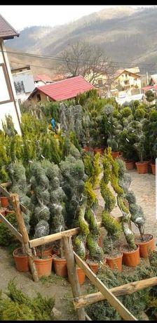 Vând și transport la domiciliu plante ornamentale
