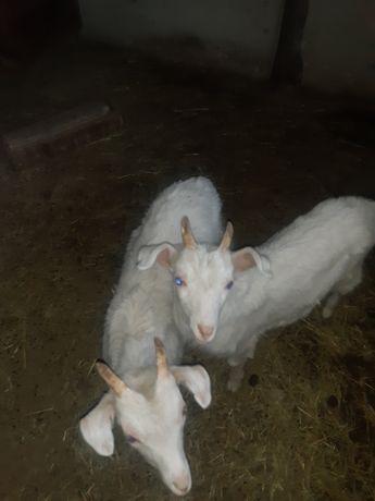 Продам козлят кастрированных заленский в будущем на мясо