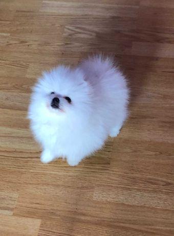 Pomeranian pui- Canisa
