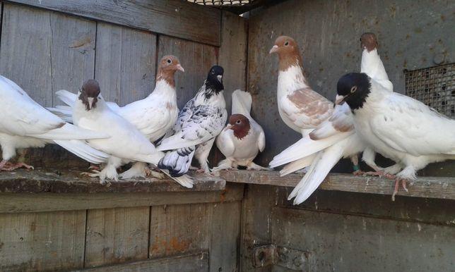"""Продаю голубей """"головастики"""""""