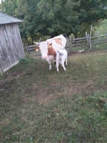 Vaca cu vitel de vanzare