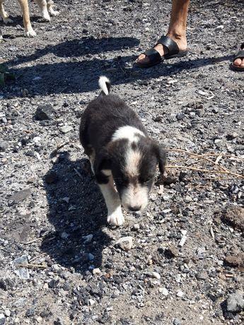 Продам охотничьих собак несколько парод тазы...