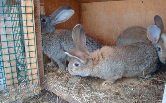 Продам Кроликов помесь