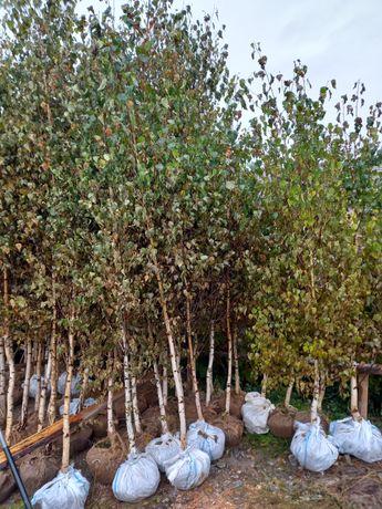 Vând mesteacăn alb soiul betula