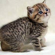 Милые породистые котята