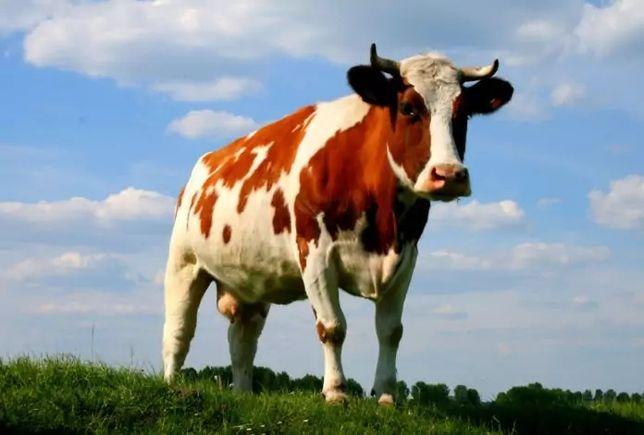 Продам корову( на фото не она)