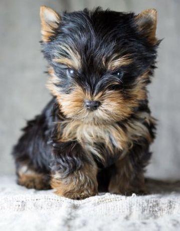 Pui yorkshire terrier din parinti cu pedigree talie mica 2,5 kg