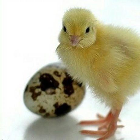 Продажа цыплят перепелов