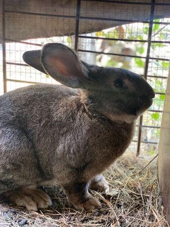 Продам кроликов (Великаны, шиншилла и др.)