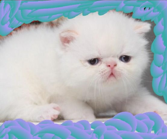 Роскошные котята шоу класса