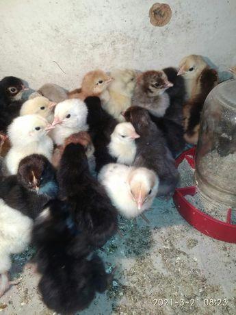 Цыплята суточные.