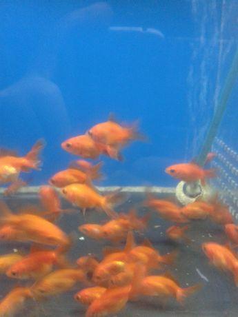 """золотые рыбки в зоомагазине """" нептун """""""