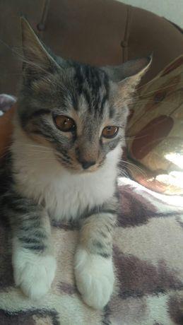 Курильский бобтэйл котята