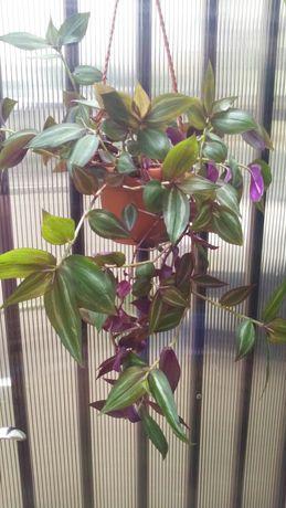 Floare curgatoare sidefata ( si pui )