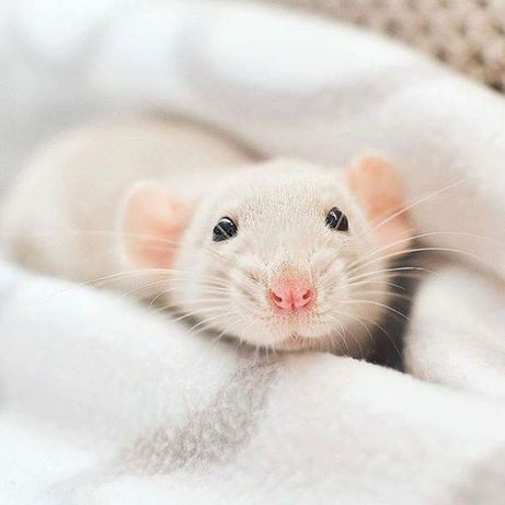 Домашние крыски малыши